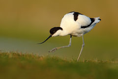 染色长嘴上弯的长脚鸟, Recurvirostra avosetta,黑白在绿草,法国 免版税库存图片