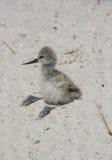 染色长嘴上弯的长脚鸟年轻小鸡  免版税库存照片