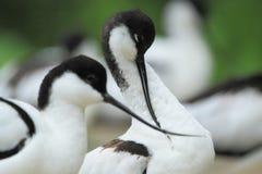 染色长嘴上弯的长脚鸟 库存照片