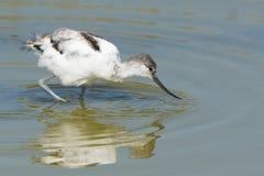 染色长嘴上弯的长脚鸟 免版税库存图片