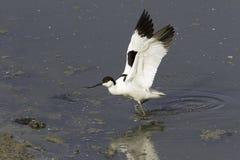 染色长嘴上弯的长脚鸟- Recurvirostra avosetta,在自然生态环境 库存图片