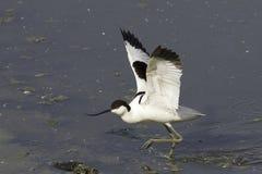染色长嘴上弯的长脚鸟- Recurvirostra avosetta,在自然生态环境 库存照片