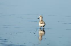 染色长嘴上弯的长脚鸟(Recurvirostra avosetta) 免版税库存照片