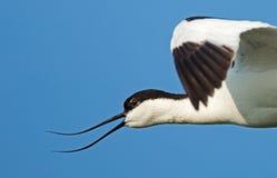 染色长嘴上弯的长脚鸟(Recurvirostra avosetta) 库存图片