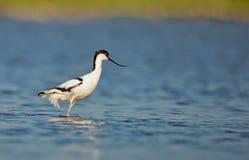 染色长嘴上弯的长脚鸟(Recurvirostra avosetta) 库存照片