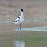 染色长嘴上弯的长脚鸟Recurvirostra avosetta 库存图片