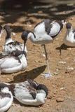 染色长嘴上弯的长脚鸟Recurvirostra avosetta 库存照片
