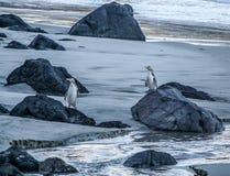 染黄在海滩, Otago,新西兰的被注视的企鹅 库存图片