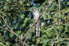染黄开帐单的杜鹃鸟,沃尔顿县,乔治亚美国 图库摄影