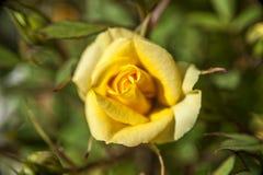 染黄玫瑰花蕾 库存图片