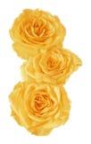 染黄玫瑰花蕾 免版税库存图片