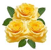 染黄玫瑰 皇族释放例证