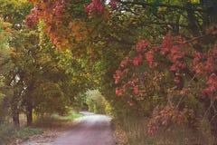 染黄的树隧道在路的在秋天 库存图片