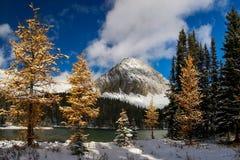 染黄色的落叶松属,在Chester湖后的第一个雪秋天 免版税库存图片