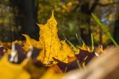 染黄说谎在草的下落的秋叶 免版税库存照片