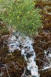 染黄pineweed花卉生长沿着干木头和青苔 库存照片