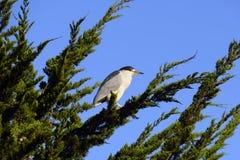 染黑在杉树看见的被加冠的夜鹭属在加利福尼亚海岸附近 免版税库存图片