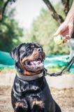 染黑并且晒黑与网球的rottweiler狗 免版税图库摄影