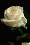 染黑查出的玫瑰白色 免版税库存图片