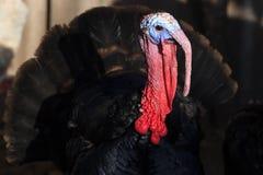 染黑火鸡鸟clouse  传统圣诞节食物 免版税库存图片