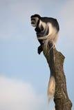 染黑疣猴白色 免版税图库摄影