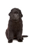 染黑纽芬兰小狗 免版税库存图片