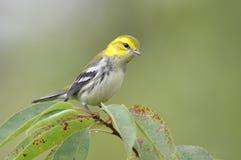 染黑绿色红喉刺莺的鸣鸟 库存照片