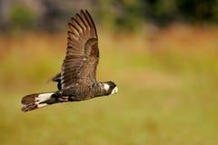 染黑美冠鹦鹉 免版税库存图片