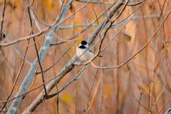 染黑翻动它的在一棵树的加盖的山雀羽毛在一秋天天 免版税库存图片