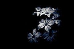 染黑花轻的树荫白色 库存图片