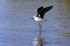 染黑飞过的博茨瓦纳高跷 免版税图库摄影