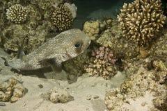 染黑blotched diodon liturosus刺顿鱼 图库摄影