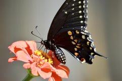 染黑swallowtail 免版税库存图片