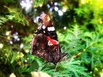 染黑与红色和白色斑点蝴蝶在树 免版税库存照片