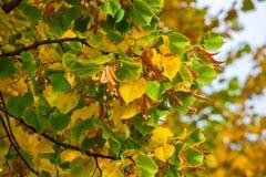 染黄在一棵椴树的分支离开在蓝天的 图库摄影