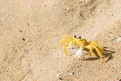 染黄在沙滩的鬼魂螃蟹 免版税图库摄影