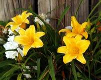 染黄在绽放的花 库存图片