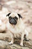 染黑并且晒黑哈巴狗品种狗在红色芽小岛,奥斯汀得克萨斯 免版税库存图片