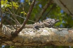 染黑晒黑在大树枝的多刺被盯梢的鬣鳞蜥 免版税库存照片