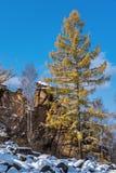 染黄的落叶松属在一冷的10月天 免版税库存照片
