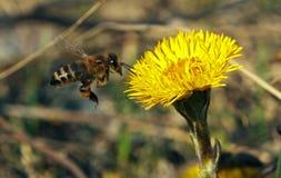 染黄花的蜜蜂飞行 免版税库存照片