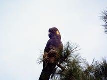 染黄被盯梢的黑美冠鹦鹉 库存照片