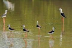 染黑飞过的高跷,共同的高跷,与pi的染色高跷趟水者鸟 图库摄影