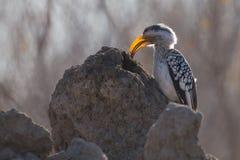 染黄食物的开帐单的犀鸟狩猎在蚁丘 免版税库存照片