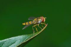 染黄hoverfly坐在绿色背景的叶子 库存图片