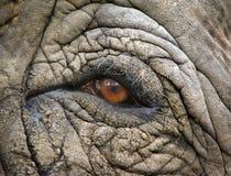 柔和大象的眼睛 库存图片