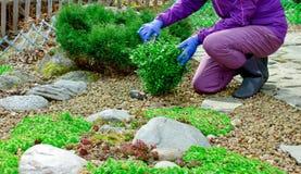 柔和妇女的手接触整理的黄杨木潜叶虫灌木 免版税图库摄影