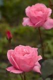 柔和的庭院rozy-女王/王后庭院 库存照片