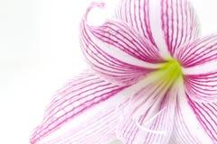 柔和的桃红色百合花特写镜头照片 花卉女性横幅模板 免版税库存照片