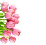柔和的桃红色郁金香,在白色的鲜花边界  免版税库存照片